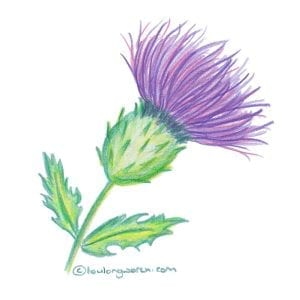 Thistle drawing with coloured pencils