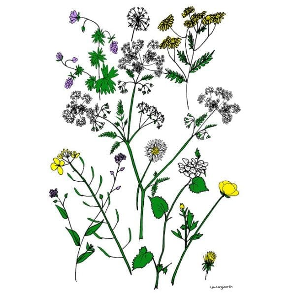 Wildflower Drawings